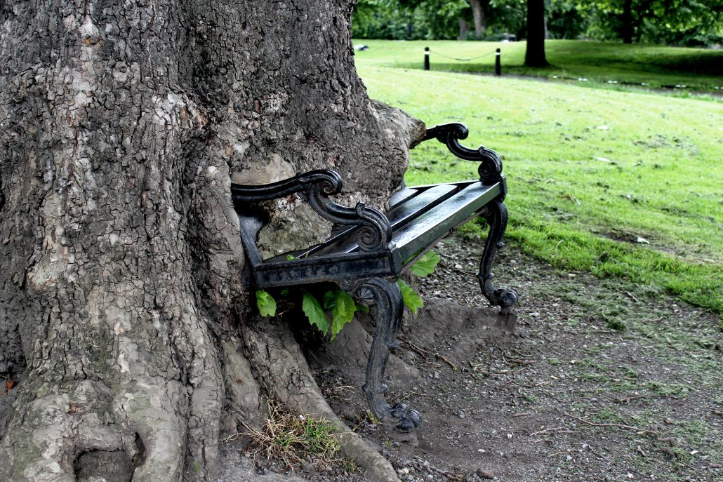 London Plane tree eating a bench
